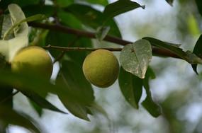 夏天的未成熟的小毛桃