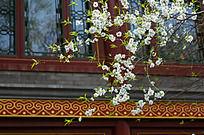 窗前的梨花