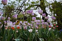 粉色的郁金香花丛