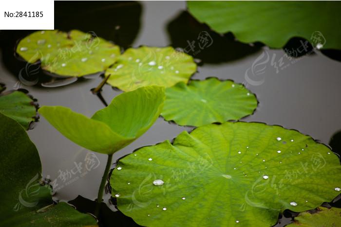 浮在水面的荷叶莲花叶
