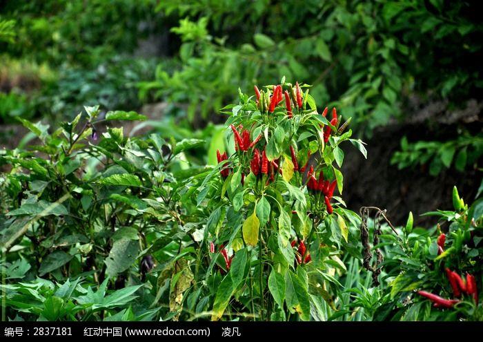 红辣椒图片_动物植物图片