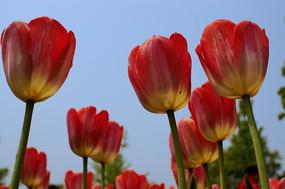 蓝天下红黄相间的郁金香