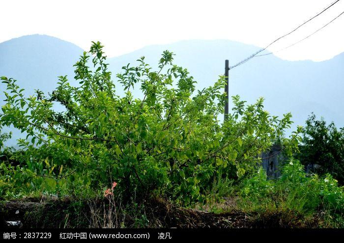 原创摄影图 动物植物 树木枝叶 李子树  请您分享: 红动网提供树木