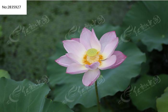荷花 莲花 荷叶 池塘 夏季