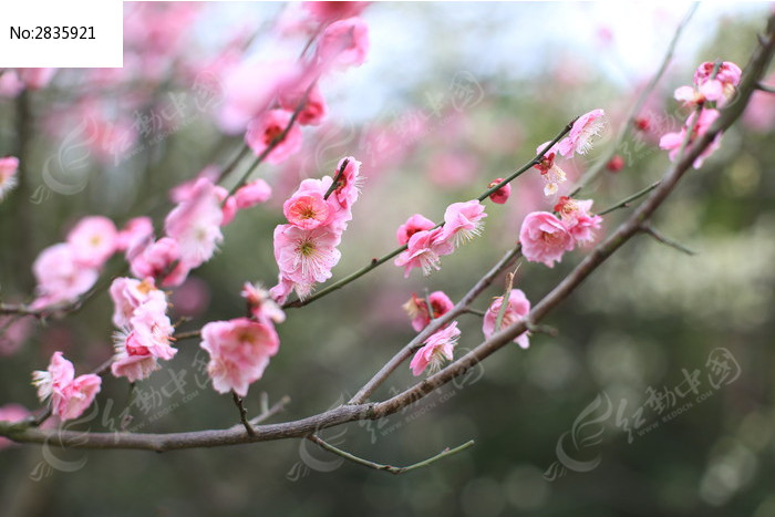 原创摄影图 动物植物 花卉花草 > 美丽桃花图片  素材编号 : 2835921