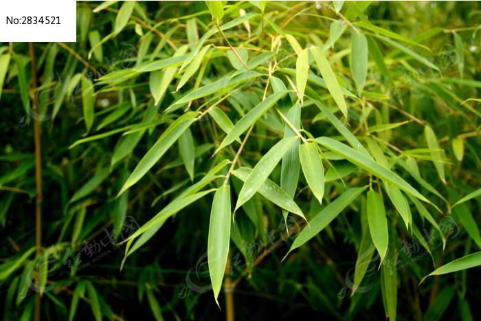 原创摄影图 动物植物 树木枝叶 青翠的绿色竹叶