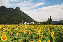 齐云山下盛开的向日葵