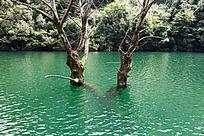 生长在深水中的两棵大树