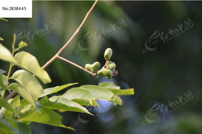 原创摄影图 动物植物 树木枝叶 树枝上的几个果实  请您分享: 红动网