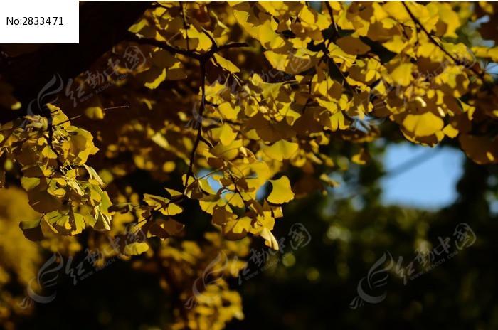 阳光中一片银杏叶更显金黄图片