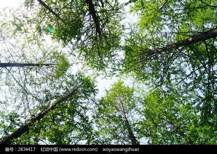 仰视树林高清图片素材