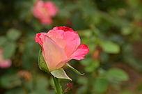 一朵亟待开发的月季花