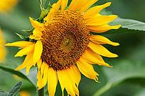 一朵盛开的向日葵