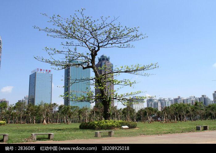 一颗独立的梧桐树图片