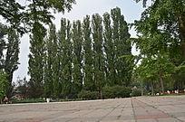 一排笔直的树