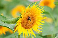 一只黄蜂停在向日葵的花朵上