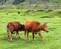 草场上两只黄牛