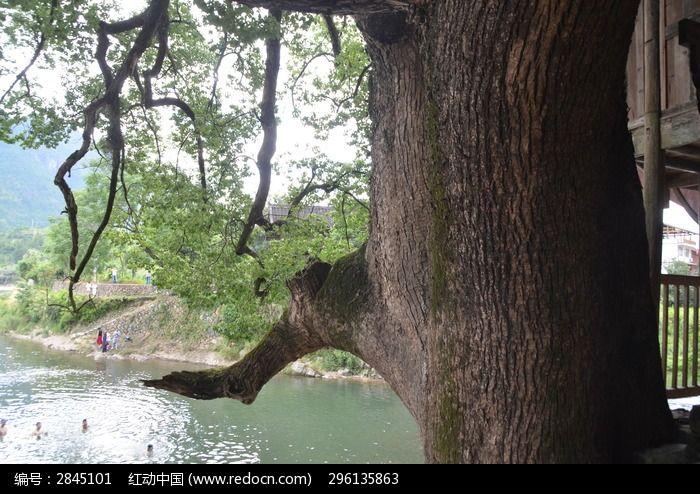 古树下清澈的小溪