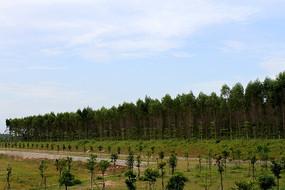 茂密的桉树林