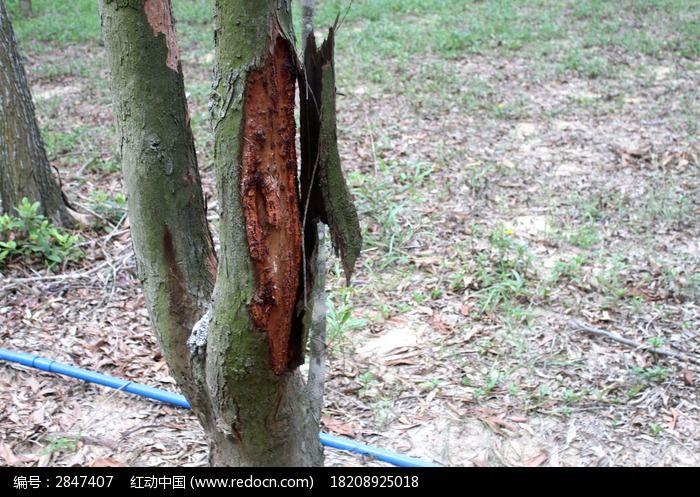 破皮的的树木图片_图片_红动手机版