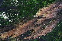 树上的彩色根须在飘扬