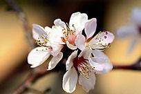 一簇白色樱花和花蕊