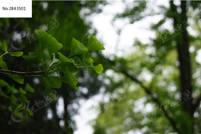 银杏树叶图片,高清大图_树木枝叶素材