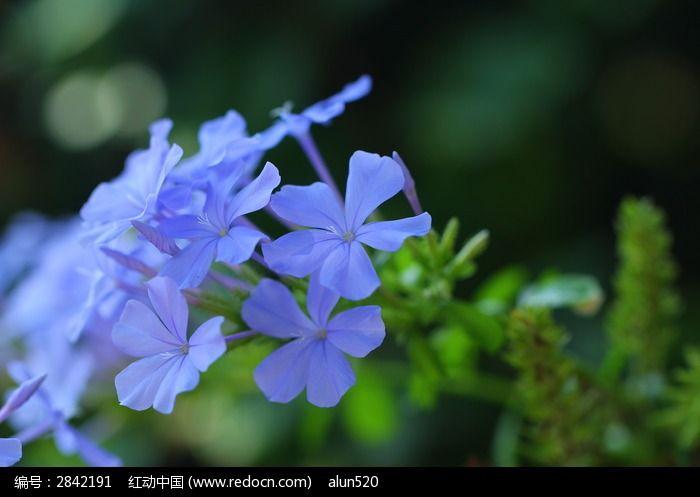 一束蓝雪花图片_动物植物图片