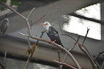 一只白头黑身鸟