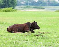 一只褐色黄牛卧着在草地上休息
