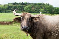一只水牛的大头照