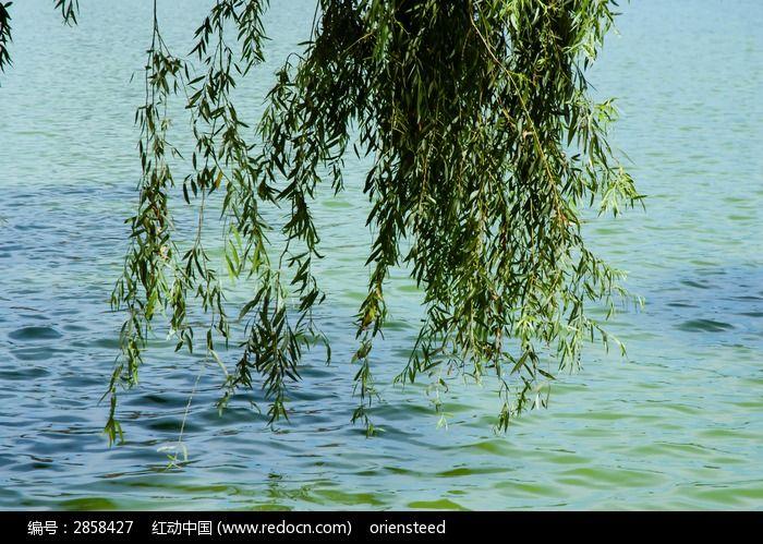 湖面上的柳叶图片图片