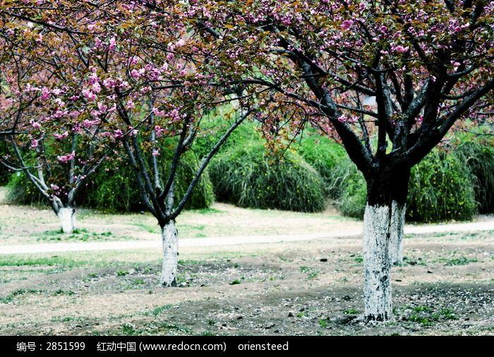 即将开花的桃树林