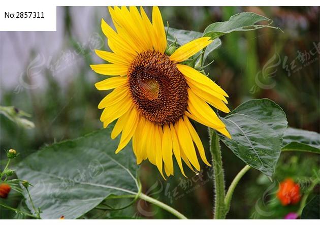 原创摄影图 动物植物 花卉花草 生长着的向日葵