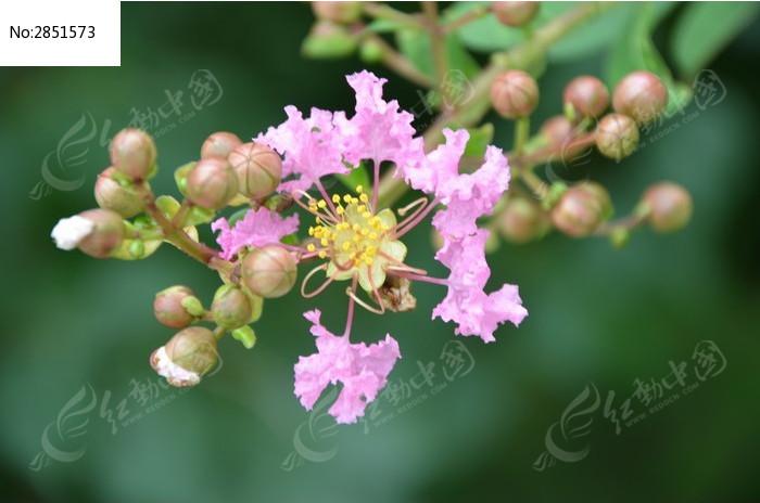 原创摄影图 动物植物 花卉花草 潍坊植物园里粉色紫薇