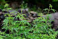 一簇碧绿的蒿草