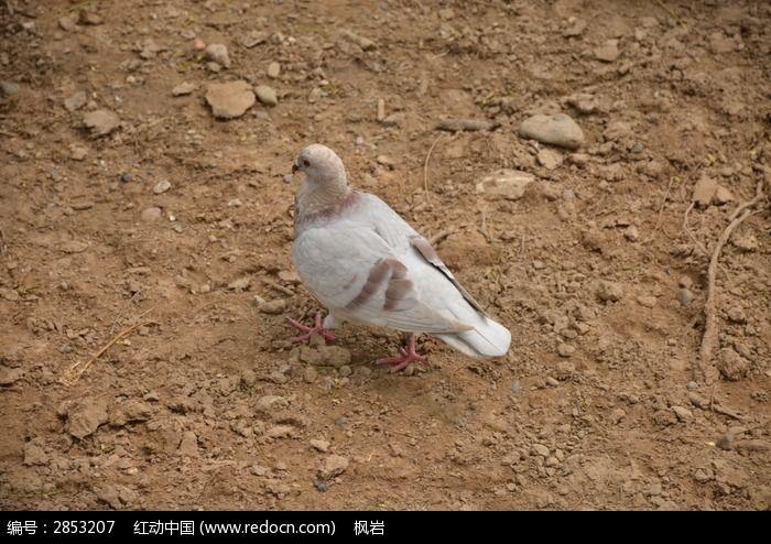 一只鸽子图片,高清大图