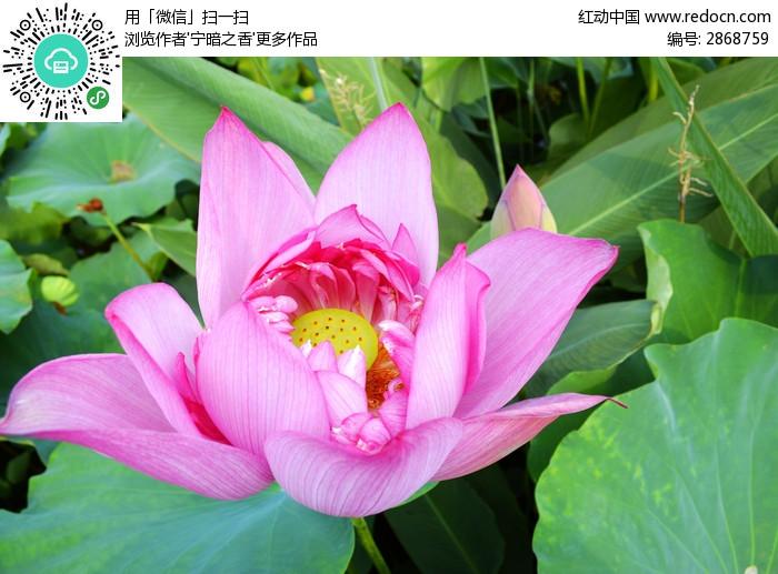 俯拍粉红荷花 花瓣 莲蓬 绿叶 美图拍摄 拍摄图片 植物世界 鲜花 花卉