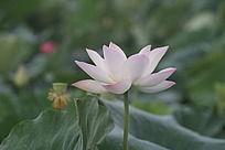 荷叶中盛开的粉色荷花