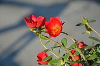 红色的向阳花