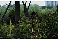 枯萎的松果菊花瓣下的黑色种子