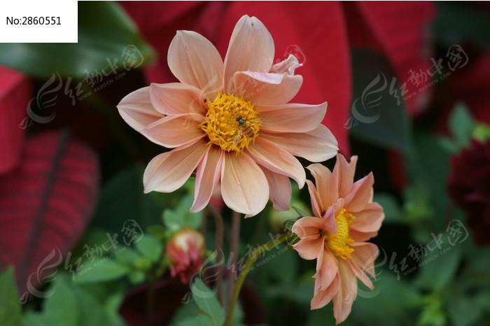 盛开的大丽菊乌龟赶来采蜜植物_瓷器蜜蜂动物麒麟一只图片一只图片图片