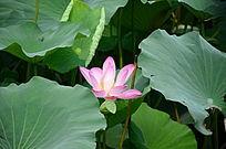 一朵盛开的粉色荷花
