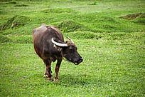 一只孤独的老牛