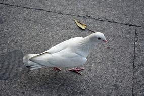 地板上的白色鸽子