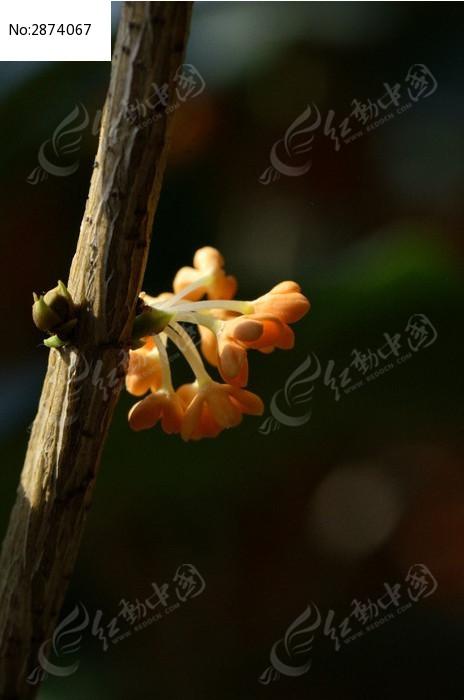 原创摄影图 动物植物 花卉花草 桂花