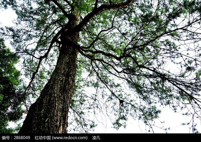 古老的松树图片
