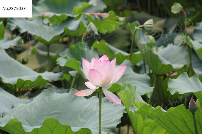 莲蓬边的漂亮的粉色荷花花朵图片