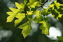 逆光中树叶纹理清晰背景光斑迷人