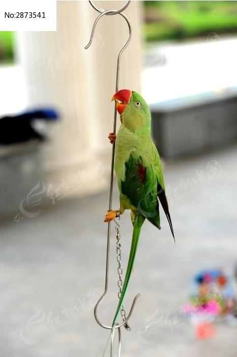 原创摄影图 动物植物 空中动物 鹦鹉爬杆